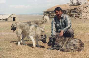 Аборигенные собаки Азербайджана